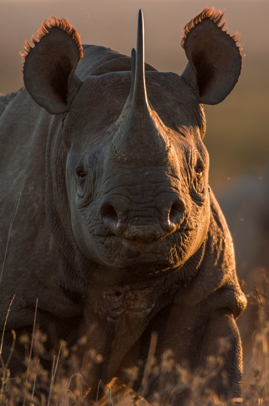 Female Black Rhino portrait